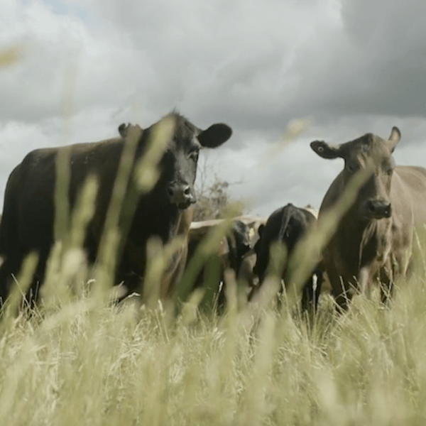 Cattle farmed regeneratively