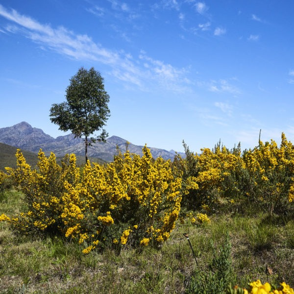 Wild honeybush in the Langkloof