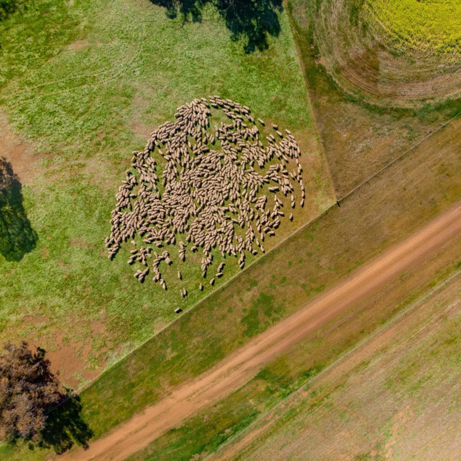 Rotational sheep grazing