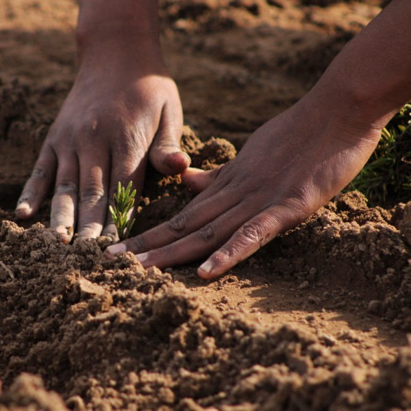 Planting rosemary in the economic zone