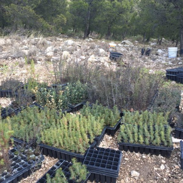 Seedlings to be planted on la Muela