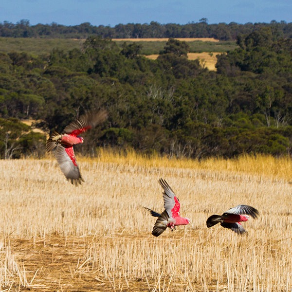 Pink and grey galahs flying free
