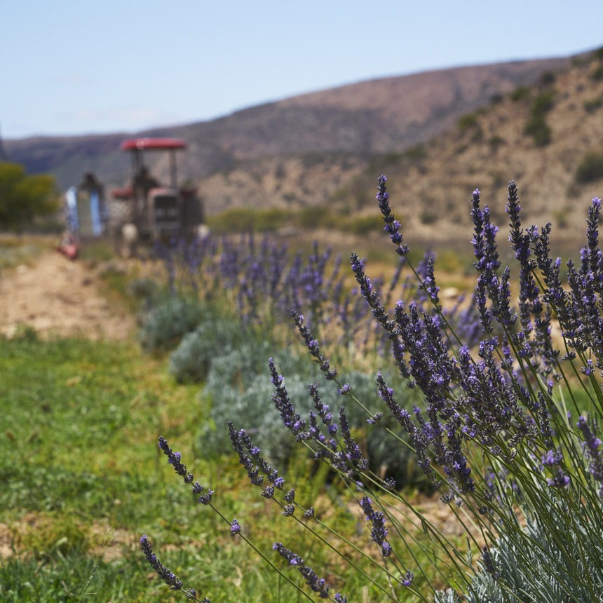 The harvest of regenerative lavandin in the Baviaanskloof