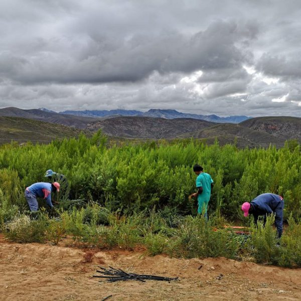Sustainable harvesting of the indigenous honeybush plant