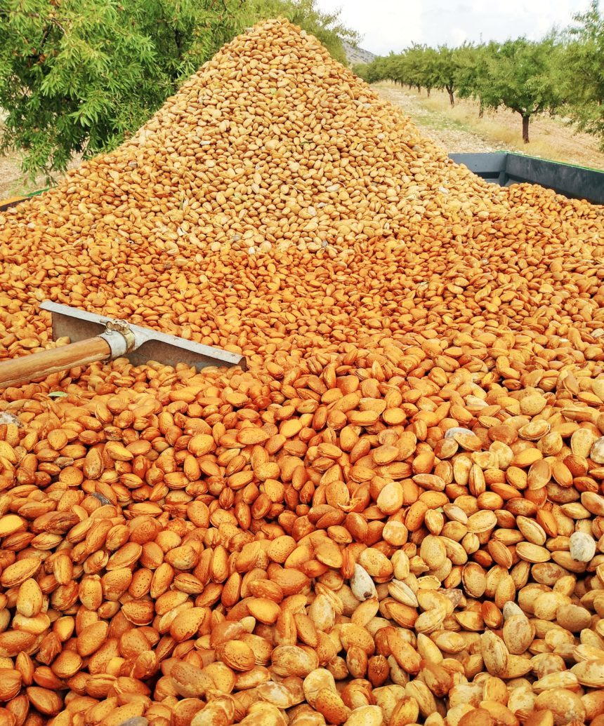 Harvesting almonds in fall
