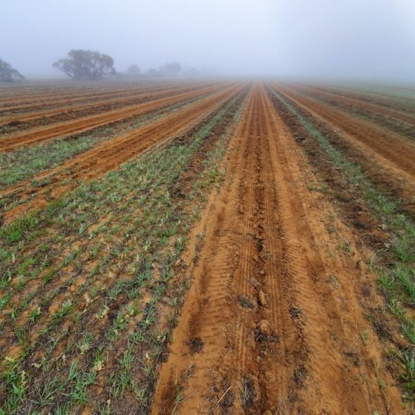 Planting of 23,000 seedling of more than sixty different species at WOA's East Kulinbah property
