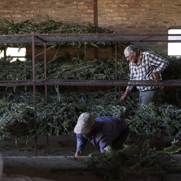 Drying rosemary