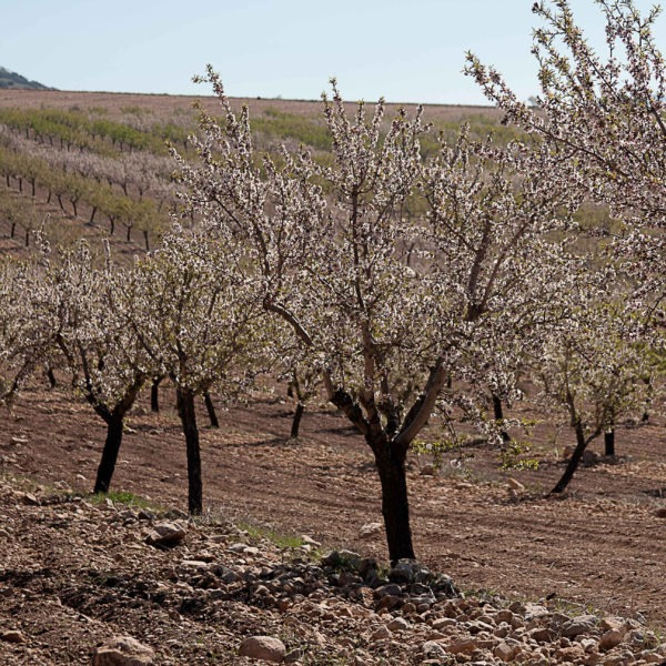 Blossoming almond trees